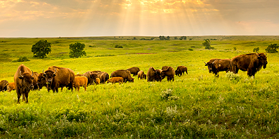 Ranched Bison in the United States