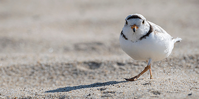 Threatened & Endangered Shorebird Species
