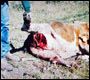 cow injured by wolves