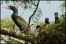 photo of cormorants