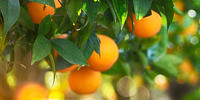 Citrus Disease - You Can Help Prevent Citrus Disease