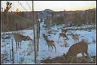 deer at fence line