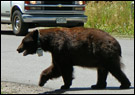 photo of bear crossing street