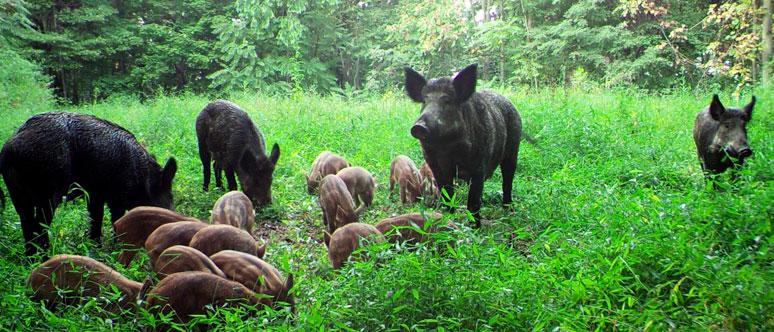 USDA APHIS | Feral Swine-Managing an Invasive Species