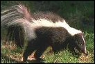 photo of skunk