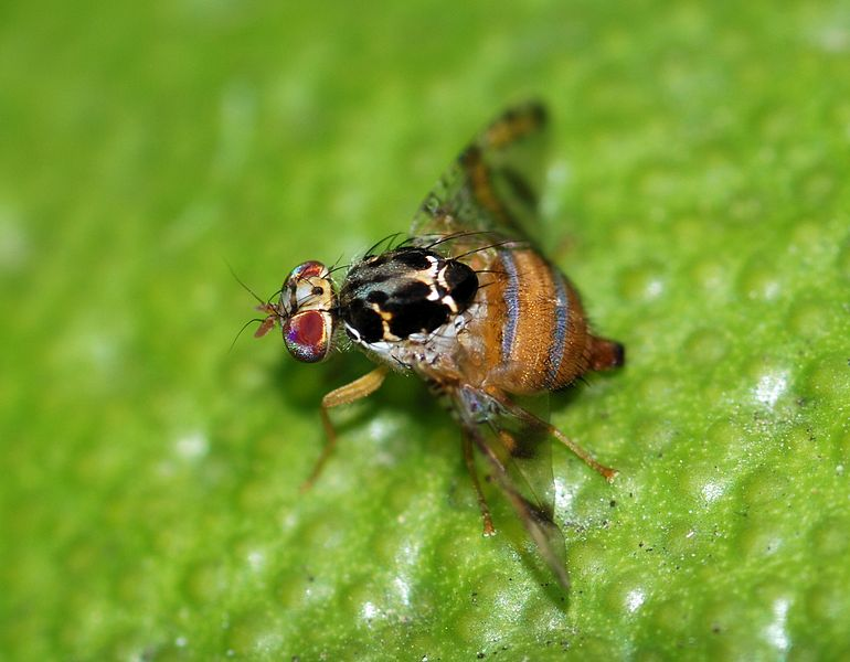 Mexican Fruit Fly (Anastrepha ludens) - University of Georgia (Jeff Lotz)