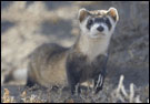 photo of ferret