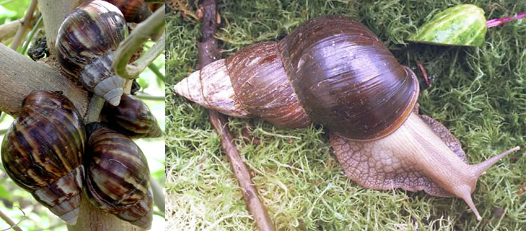 Usda aphis giant african snail giant african snail freerunsca Gallery