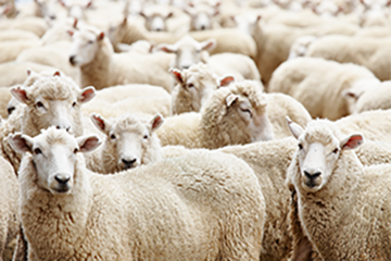 Sheep Management and Health Studies