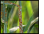 Black Stem Rust/Barberry
