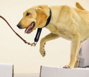 Piglet, a Lab mix, walks across a moving conveyor belt, searching for suspicious odors from boxes in an environment designed to simulate a mail room.