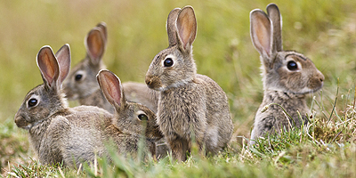 Rabbit Hemorrhagic Disease