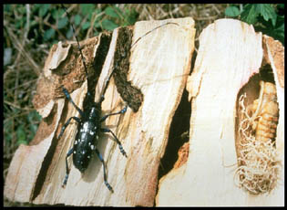 Male Asian Longhorned Beetle