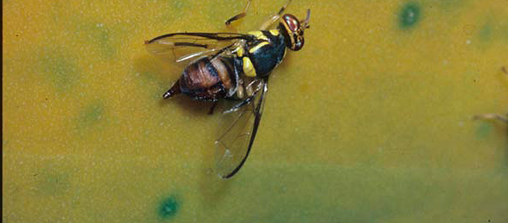 USDA APHIS   Oriental Fruit Fly