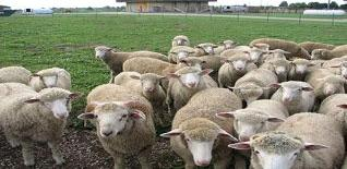 USDA APHIS | Sheep and Goat Health