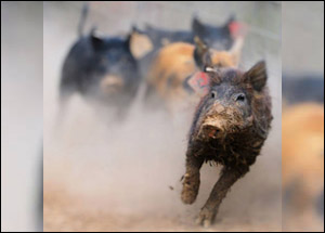 Feral Swine Management