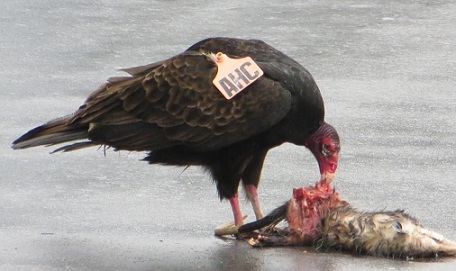 usda aphis | vulture tags
