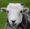 Sheep photo