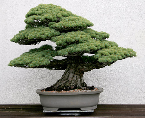 The U.S. National Arboretum displays Daizo Iwasaki's white pine bonsai at its National Bonsai and Penjing Museum.