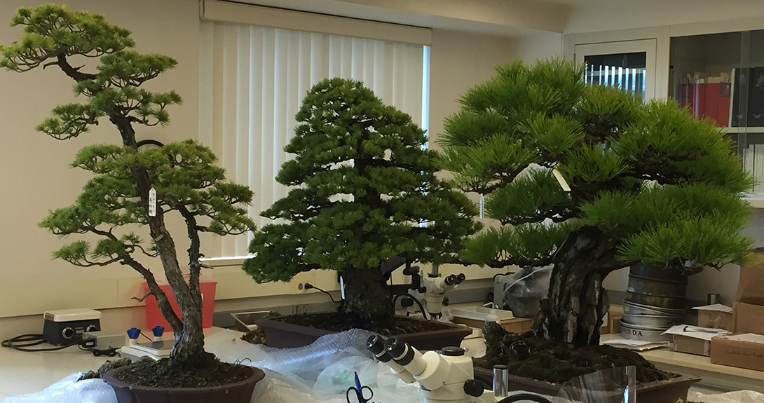 Bonsai of this size and age are generally not allowed into the United States because they could carry potentially harmful pests and diseases.