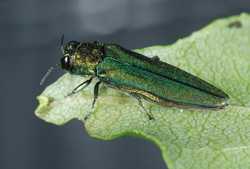 The emerald ash borer is a destructive wood-boring pest that is a native of Asia. It was first detected in the United States in 2002 and has since spread to 30 states.