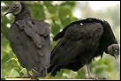 photo of black vulture