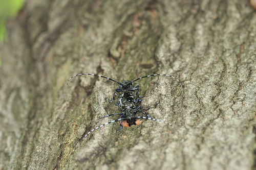 Female Asian Longhorned Beetle
