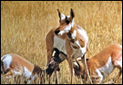 photo of pronghorn antelope