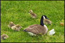 photo of canada goose and