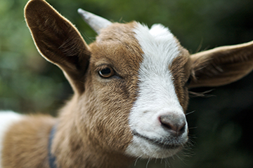 Goat Management and Health Studies