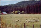 Idaho sheep herd.