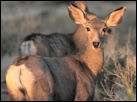 Photo of mule deer