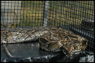 photo of caged pythons