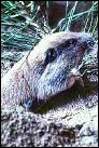photo of pocket gopher