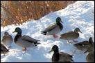 Photo of mallards in Auburn, Maine.