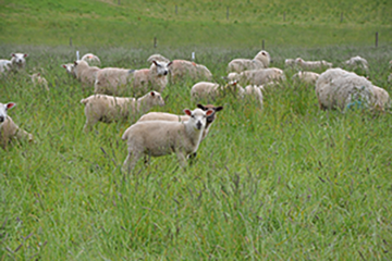 Biosecurity for Sheep and Goat Producers
