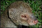 photo of mongoose