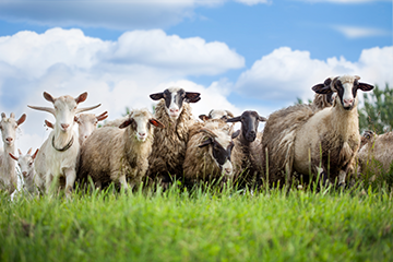 Information on Additional Sheep and Goat Diseases