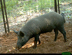 longer than they are tall feral swine are much larger than collared peccaryjavelina