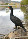 photo of cormorant with dollar bill in mouth