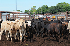 Beef Feedlot Studies