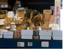 PPQ beagle checking packages