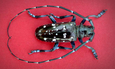 Asian Longhorned Beetle