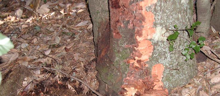 Usda Aphis Sudden Oak