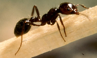 Imported Fire Ant