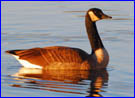 photo of Canada goose at sunrise
