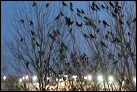 photo of crows in trees near airport