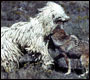 Coyote and livestock Guarding Dog
