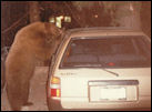 photo of bear trying to enter a car