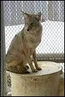 photo fo coyote in enclosure